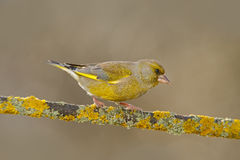 Green and yellow songbird European Greenfinch, Carduelis chloris, sitting on the yellow larch branch, with clear grey background Royalty Free Stock Images