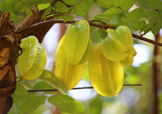 Green and yellow star apple fruit carambola Royalty Free Stock Photo