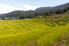 Green and yellow step/terraced rice field Stock Image