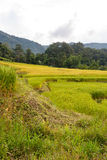 Green and yellow step/terraced rice field Stock Photography