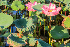 A green-yellow striped frog looking up to bees on the water lily Royalty Free Stock Photo