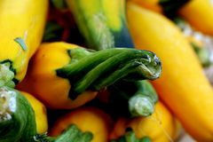Green and Yellow Summer Squash. Fresh, organic summer squash harvested while the rind is still tender and edible are appealing to the eye and palate Royalty Free Stock Image