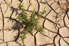 Thistle in Dry Reddish Cracked Desert Mud stock photography