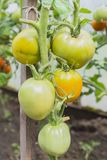 The green and yellow tomatoes on the bush. In the greenhouse Royalty Free Stock Images