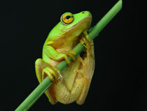 Green and yellow tree frog 3. Rare green tree frog spotted hanging onto a reed at the edge of a dam Stock Images