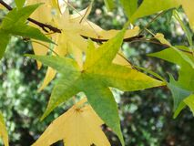Green and Yellow Tree Leaves on Branches Stock Image