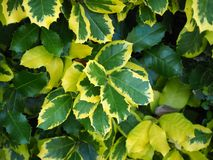Green, yellow and variegated leaves on a holly bush royalty free stock photos