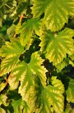 Green yellow vine leaves for background Stock Images