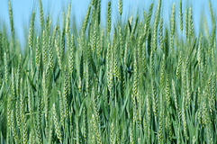 Green and Yellow Wheat Background Royalty Free Stock Photo