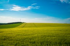 Green and yellow wheat field in spring season under blue sky, wide photo. With copy space royalty free stock photography