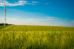Green and yellow wheat field in spring season under blue sky, wide photo. With copy space royalty free stock images