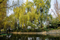 Green-yellow willows at riverside Royalty Free Stock Image