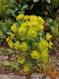Green Wood Spurge Flower Stock Photos
