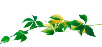 Green yellowed branch of grapes leaves Royalty Free Stock Photography