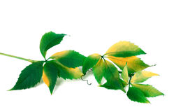 Green yellowed branch of grapes leaves Stock Photos