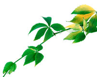Green yellowed sprig of grapes leaves Stock Photos