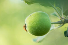 Green young apple on a branch with leaves Royalty Free Stock Image
