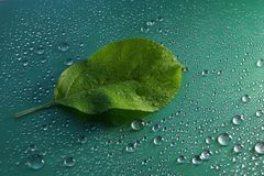 Green young Apple leaf and water drops on green background ecolo. Gy concept Royalty Free Stock Photography