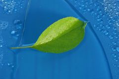 Green young Apple leaf and water drops on blue background ecolog. Y concept Royalty Free Stock Photo