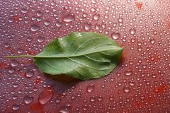 Green young Apple leaf and water drops on red background ecology. Concept Royalty Free Stock Photography
