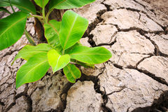 Green young banana tree on crack soil Royalty Free Stock Images
