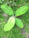 Green and young banana tree. Cultivated in home garden stock photos