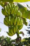 Green young bananas Stock Image