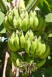 Green young bananas Royalty Free Stock Photos