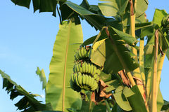 Green young bananas hanging on the tree. Against blue sky Royalty Free Stock Photography