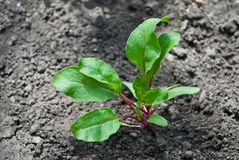 Green young beet sprout Royalty Free Stock Image