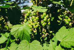 Green young berries of red currant on the shrub among green fresh leaves royalty free stock photos