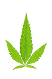 Green young cannabis leaf. Isolated on a white background Royalty Free Stock Photos
