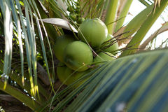 Green young coconut tree branch Royalty Free Stock Image