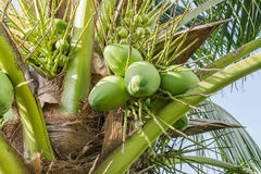 Green young coconuts Stock Photo