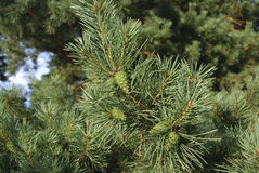 Green young cones on pine branch. Royalty Free Stock Images