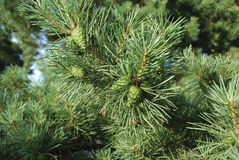 Green young cones on pine branch. Royalty Free Stock Photography