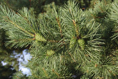 Green young cones on pine branch. Stock Image