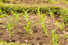 Green Young corn Stock Images