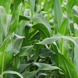 Green young corn field Stock Photography