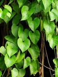 Green young creeping plant Royalty Free Stock Photography