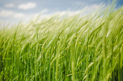 Green young ears of barley Royalty Free Stock Photo
