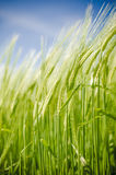 Green young ears of barley Stock Images