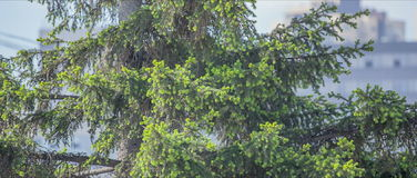 Green young fir tree needles. stock video