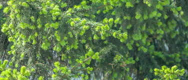 Green young fir tree needles. stock video footage