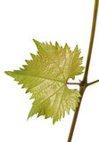 Green young grapes leaf Stock Photo