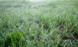 Green young grass in the dew on a spring morning, light shot. royalty free stock photography