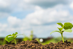 Green  Young  Growing sprout under blue sky. Royalty Free Stock Image