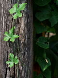 Green young ivy creeping plant Stock Photos