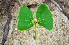 Green Young Leaf On Beach Royalty Free Stock Images