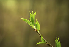 Green young leaf growing royalty free stock photo